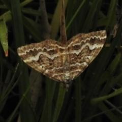 Chrysolarentia heliacaria (Heliacaria Carpet) at Paddys River, ACT - 8 Mar 2021 by JohnBundock