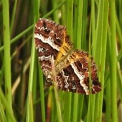 Chrysolarentia vicissata (Vicissata Carpet) at Paddys River, ACT - 8 Mar 2021 by JohnBundock