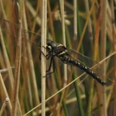 Synthemis eustalacta (Swamp Tigertail) at Gibraltar Pines - 8 Mar 2021 by JohnBundock