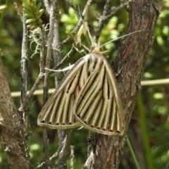 Amelora leucaniata (Striped Cape-moth) at Paddys River, ACT - 8 Mar 2021 by JohnBundock