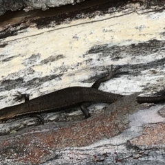 Pseudemoia entrecasteauxii (Woodland Tussock-skink) at Namadgi National Park - 6 Mar 2021 by Tapirlord