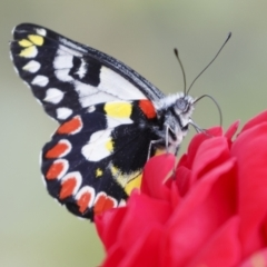 Delias aganippe (Spotted Jezebel) at Michelago, NSW - 7 Mar 2021 by Illilanga