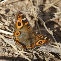 Junonia villida (Meadow Argus) at Illilanga & Baroona - 1 Dec 2020 by Illilanga