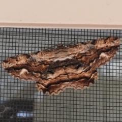 Scioglyptis lyciaria (White-patch Bark Moth) at Wanniassa, ACT - 12 Mar 2021 by JohnBundock