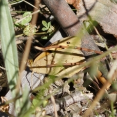 Heteronympha merope (Common Brown) at Michelago, NSW - 30 Nov 2020 by Illilanga