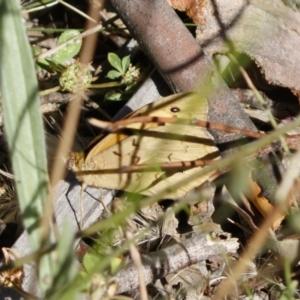 Heteronympha merope at Michelago, NSW - 30 Nov 2020