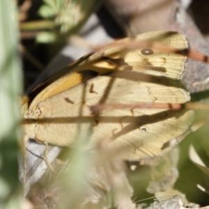 Heteronympha merope at Illilanga & Baroona - 30 Nov 2020
