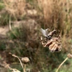 Araneinae (subfamily) (Orb weaver) at Namadgi National Park - 11 Mar 2021 by KMcCue