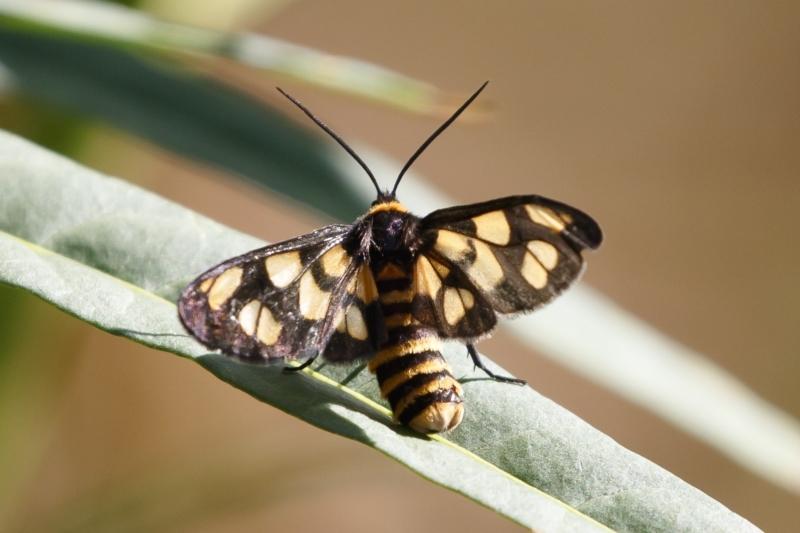 Amata (genus) at Michelago, NSW - 31 Jan 2021