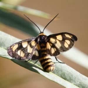 Amata (genus) at Illilanga & Baroona - 31 Jan 2021
