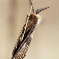 Epicoma (genus) at Michelago, NSW - 10 Jan 2021