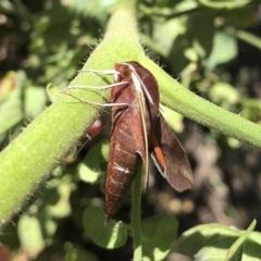 Hippotion scrofa (Coprosma Hawk Moth) at Michelago, NSW - 3 Mar 2021 by Illilanga