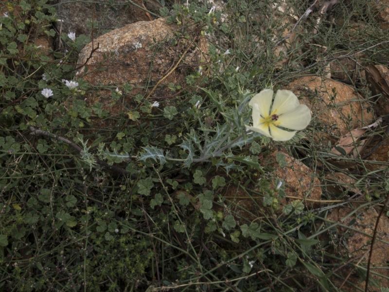 Argemone ochroleuca subsp. ochroleuca at Illilanga & Baroona - 27 Feb 2021