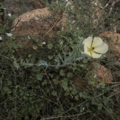Argemone ochroleuca subsp. ochroleuca (Mexican Poppy, Prickly Poppy) at Illilanga & Baroona - 27 Feb 2021 by Illilanga