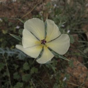 Argemone ochroleuca subsp. ochroleuca at Michelago, NSW - 27 Feb 2021