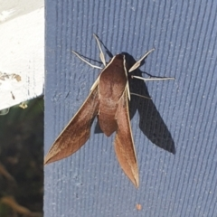Hippotion scrofa (Coprosma Hawk Moth) at Michelago, NSW - 8 Mar 2021 by Illilanga