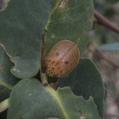 Paropsis atomaria (Eucalyptus leaf beetle) at Illilanga & Baroona - 27 Feb 2021 by Illilanga