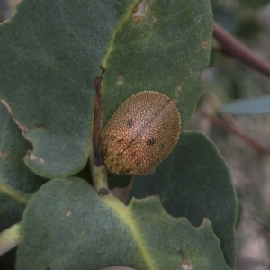 Paropsis atomaria at Michelago, NSW - 27 Feb 2021