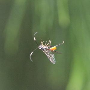 Ichneumonidae sp. (family) at Dryandra St Woodland - 12 Mar 2021