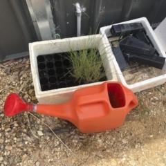Litoria peronii at Michelago, NSW - 2 Jan 2021