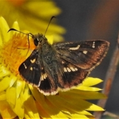 Dispar compacta (Barred skipper) at ANBG - 1 Mar 2021 by JohnBundock