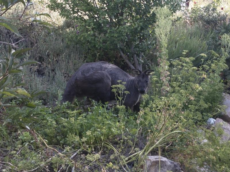 Macropus robustus at Michelago, NSW - 21 Jan 2021