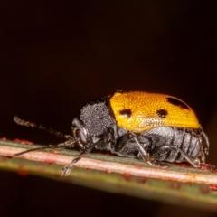 Cadmus (Cadmus) litigiosus (Leaf beetle) at Mulligans Flat - 11 Mar 2021 by rawshorty