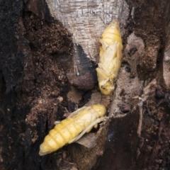 Cerambycidae (family) (A longhorn beetle) at Michelago, NSW - 16 Nov 2020 by Illilanga