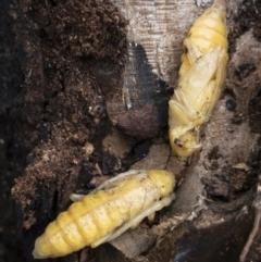 Cerambycidae (family) at Illilanga & Baroona - 16 Nov 2020