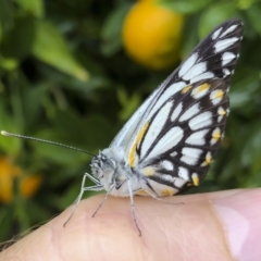 Belenois java (Caper White) at Michelago, NSW - 16 Oct 2020 by Illilanga