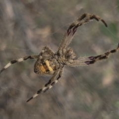 Eriophora pustulosa (Knobbled Orbweaver) at Illilanga & Baroona - 14 Dec 2020 by Illilanga