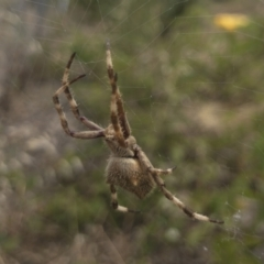 Eriophora pustulosa at Illilanga & Baroona - 14 Dec 2020