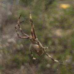 Eriophora pustulosa at Michelago, NSW - 14 Dec 2020