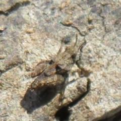 Tetrigidae (family) (Groundhopper or Pygmy grasshopper) at Mulligans Flat - 12 Mar 2021 by Christine