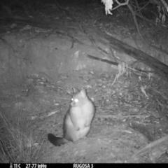 Trichosurus vulpecula (Common Brushtail Possum) at Rugosa at Yass River - 5 Mar 2021 by SenexRugosus