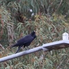 Corvus coronoides (Australian Raven) at Aranda, ACT - 11 Mar 2021 by Tammy