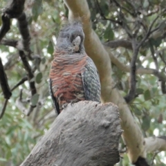 Callocephalon fimbriatum (Gang-gang Cockatoo) at Red Hill Nature Reserve - 11 Mar 2021 by JackyF