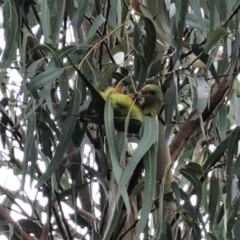 Polytelis swainsonii (Superb Parrot) at Point One - 12 Mar 2021 by JackyF