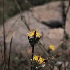 Chondrilla juncea (Skeleton Weed) at Cooleman Ridge - 6 Mar 2021 by BarrieR