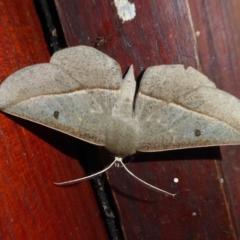 Phallaria ophiusaria (Large Leaf Moth) at Rugosa at Yass River - 12 Mar 2021 by SenexRugosus