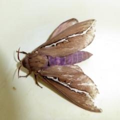 Abantiades (genus) (A Swift or Ghost moth) at Rugosa at Yass River - 12 Mar 2021 by SenexRugosus