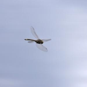 Anax papuensis at Jerrabomberra Wetlands - 12 Mar 2021