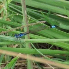 Ischnura heterosticta (Common Bluetail) at Isabella Pond - 13 Mar 2021 by RodDeb