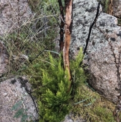 Exocarpos cupressiformis (Cherry Ballart) at Namadgi National Park - 13 Mar 2021 by KMcCue
