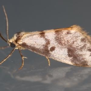 Anestia (genus) at Ainslie, ACT - 12 Mar 2021