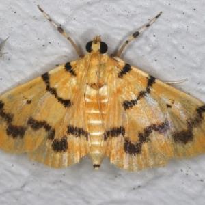 Dichocrocis clytusalis at Ainslie, ACT - 12 Mar 2021