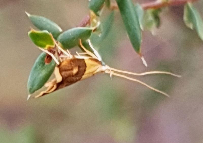 Crocanthes glycina at Mount Painter - 12 Mar 2021