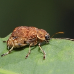 Cadmus (Cadmus) luctuosus (Leaf beetle) at ANBG - 21 Feb 2021 by TimL
