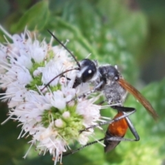 Podalonia tydei (Caterpillar-hunter wasp) at Aranda, ACT - 13 Mar 2021 by Tammy