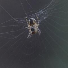 Phonognatha graeffei (Leaf-curling spider) at Dryandra St Woodland - 12 Mar 2021 by ConBoekel